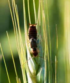 Crop damage - Earwig in Wheathead