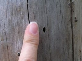 European House Borer beetle exit hole in tree