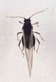 Winged Cowpea aphid adult