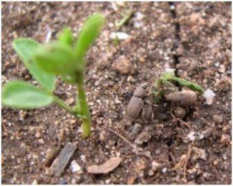 Crop damage - Weevils consuming a lentil seedling