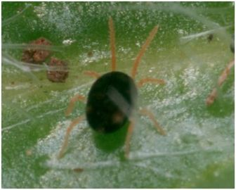 Redlegged earth mite adult