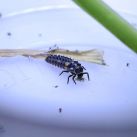 Ladybird larvae eating a Russian wheat aphid (Photo: F. Al-Jawahiri)