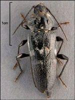 Adult European house borer beetle