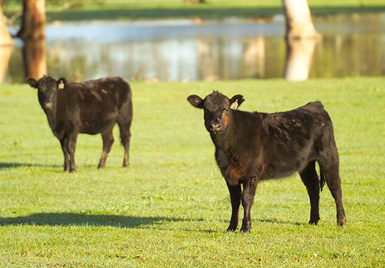 Two Angus cattle in a green filed. Water and trees are in the backgroundr in