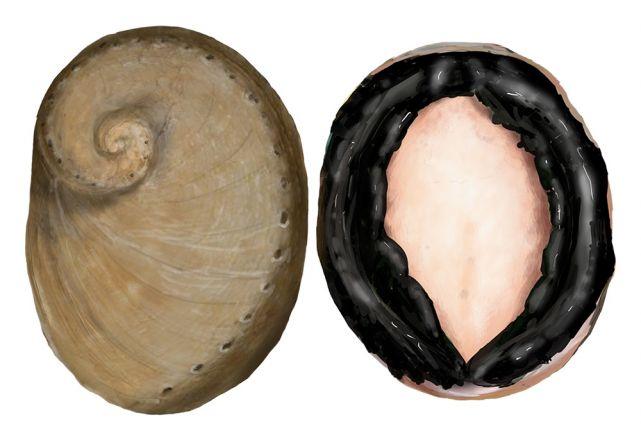 Blacklip Abalone