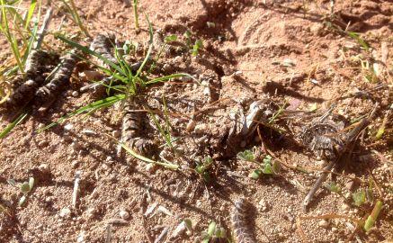 Grass anthelid damage, Penong, 2015 Photo: Andy Bates