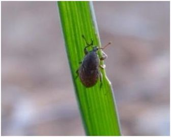 Adult weevil on cereal seedling