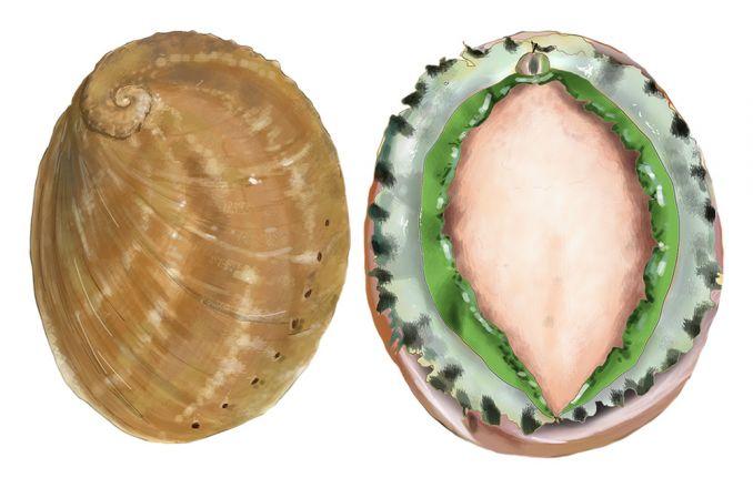 Greenlip Abalone