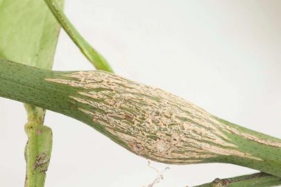 Citrus gall wasps cause woody galls on citrus twigs. Photo: Pia Scanlon, Western Australian Department of Primary Industries.