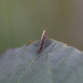 Adult diamondback moth (Photo: K. Perry)