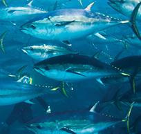 Tuna Photo Image