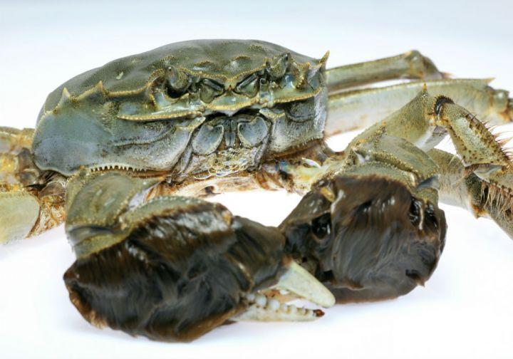 Chinese Mitten Crab (<i>Eriocheir sinensis</i>)