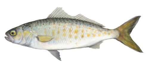 Juvenile Australian Salmon