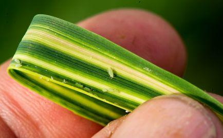 RWA on wheat leaf with distinctive striping attributable to aphid feeding