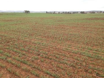 Stress, stunted growth and loss of green colouration caused by heavy infestation at Tarlee, May 2016