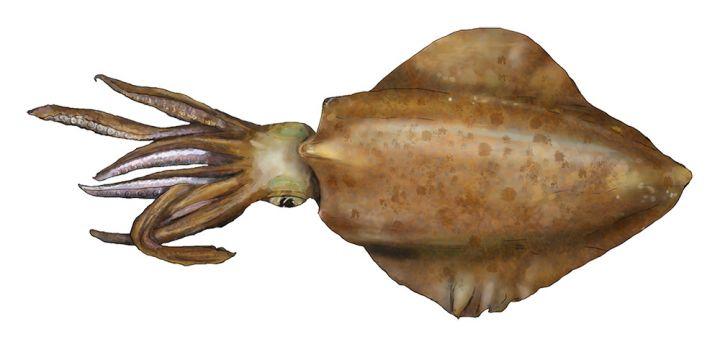 Southern Calamari - Squid