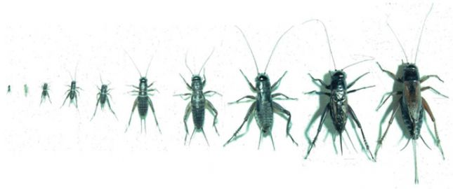 Black field cricket nymphs (left,) adult male (right) and adult female (far right)