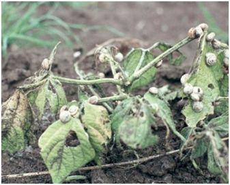 Crop damage/Baiting - Common white snail damaging Beans