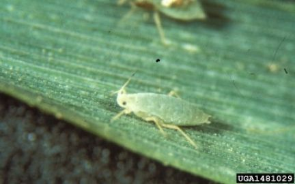 Russian wheat aphid (Diuraphis noxia). Frank Peairs, Colorado State University, Bugwood.org