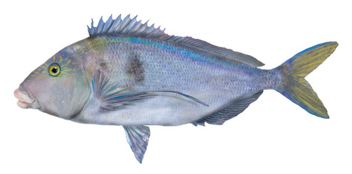 Blue Morwong - Queen Snapper
