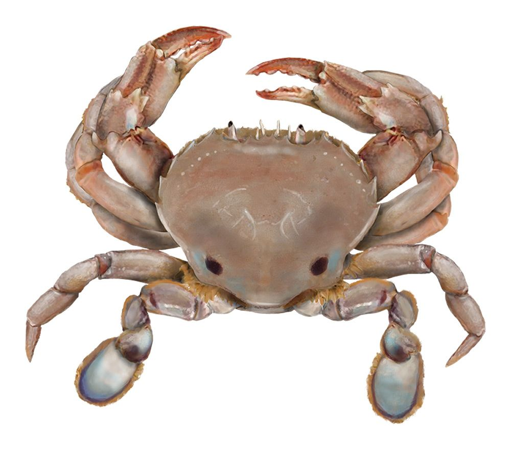 Freshwater fish limits - Sand Crab