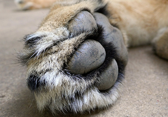 close up of lions paw