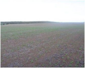 Crop damage - Bare patches in a young canola crop