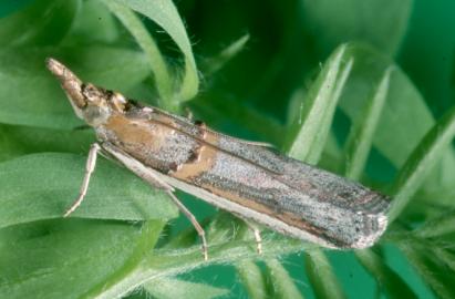 Adult Etiella moth (source: SARDI)