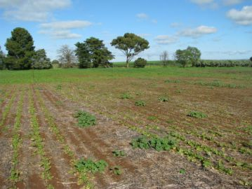 Beet Western Yellows Virus damage to canola crop Photo: Jenny Davidson, SARDI
