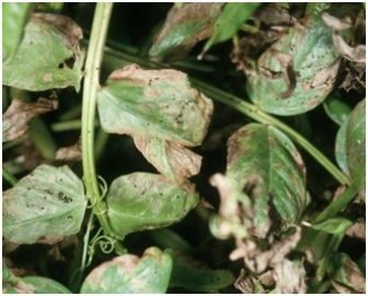 Crop damage - RLEM damage to Nabon bean
