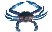 crab_blue