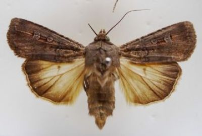 Female moth