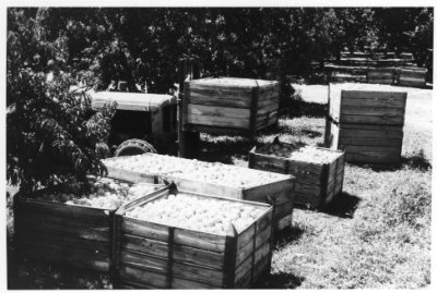 Harvested peaches ready for loading and transport to the cannery