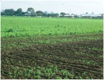 Crop damage- RLEM damage: poor germination and growth of Peas