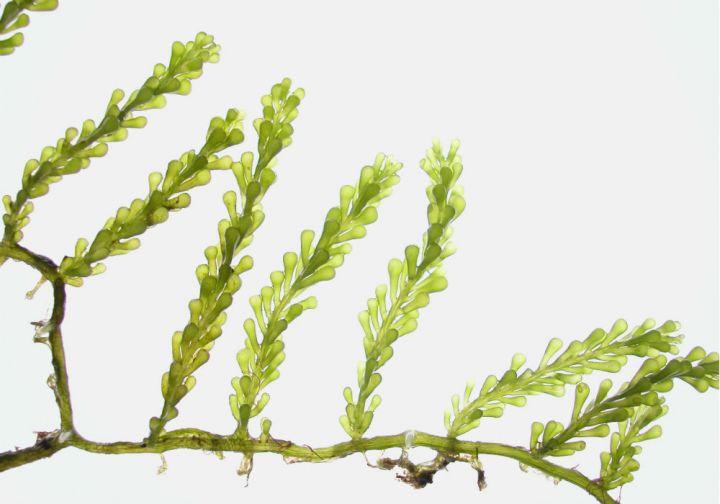 <i>Caulerpa cylindracea</i>